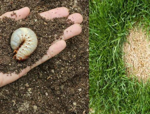 Maintain a Healthy Lawn All Year Round with the Help of Grub Control